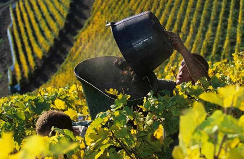 Wine harvest experience in Alsace