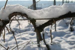 vignoble hiver