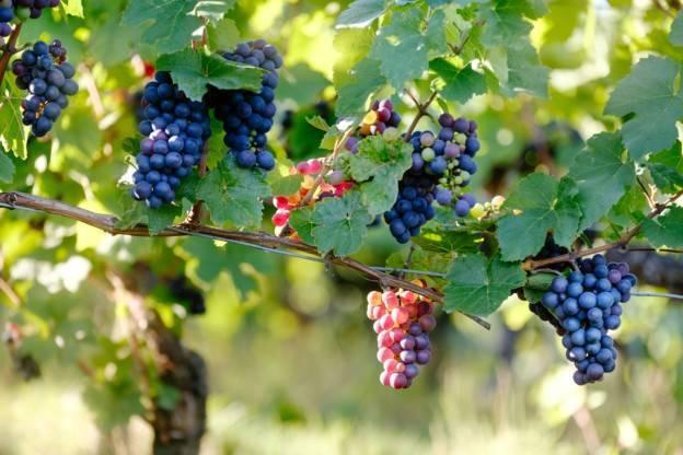 Raisins récoltés lors de la fête des vendanges.