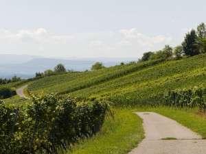 Le trail de Côte d'Or dans les vignes