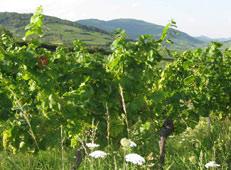 Séjour dégustation vins biologiques Alsace