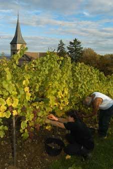 Vendanges dans le vignoble alsacien